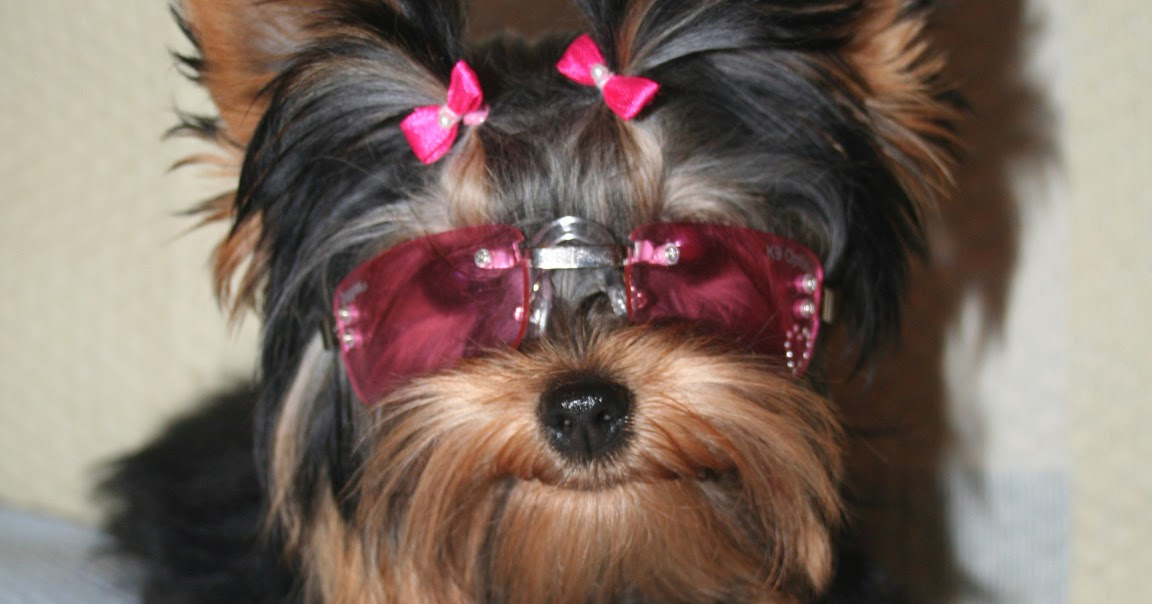 All list of different dogs breeds yorkie dogs small dog for Different types of puppies breeds