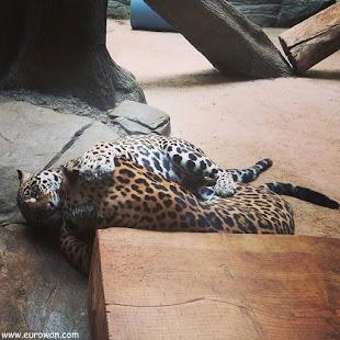 Pumas retozando en zoológico coreano