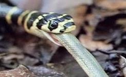King Cobra Devours Water Snake