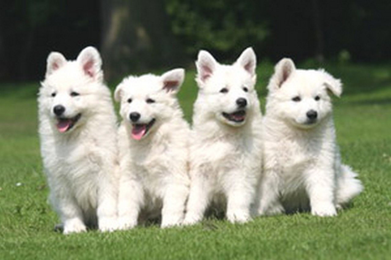 Berger Blanc Suisse | Animals Library