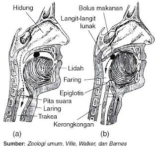Posisi lidah dan epiglotis selama bernapas saat menelan
