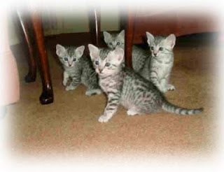 Funny picture world cats amp kittens for sale egyptian mau kittens