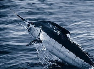 atlantic blue marlin fishing