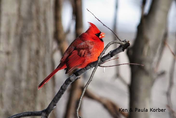 Male Cardinal Found a Peanut