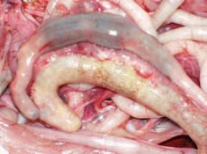 Manh tràng bị viêm sưng,tích dịch quánh đặc,màu kem đục hoặc dịch nhớt hồng như máu cá