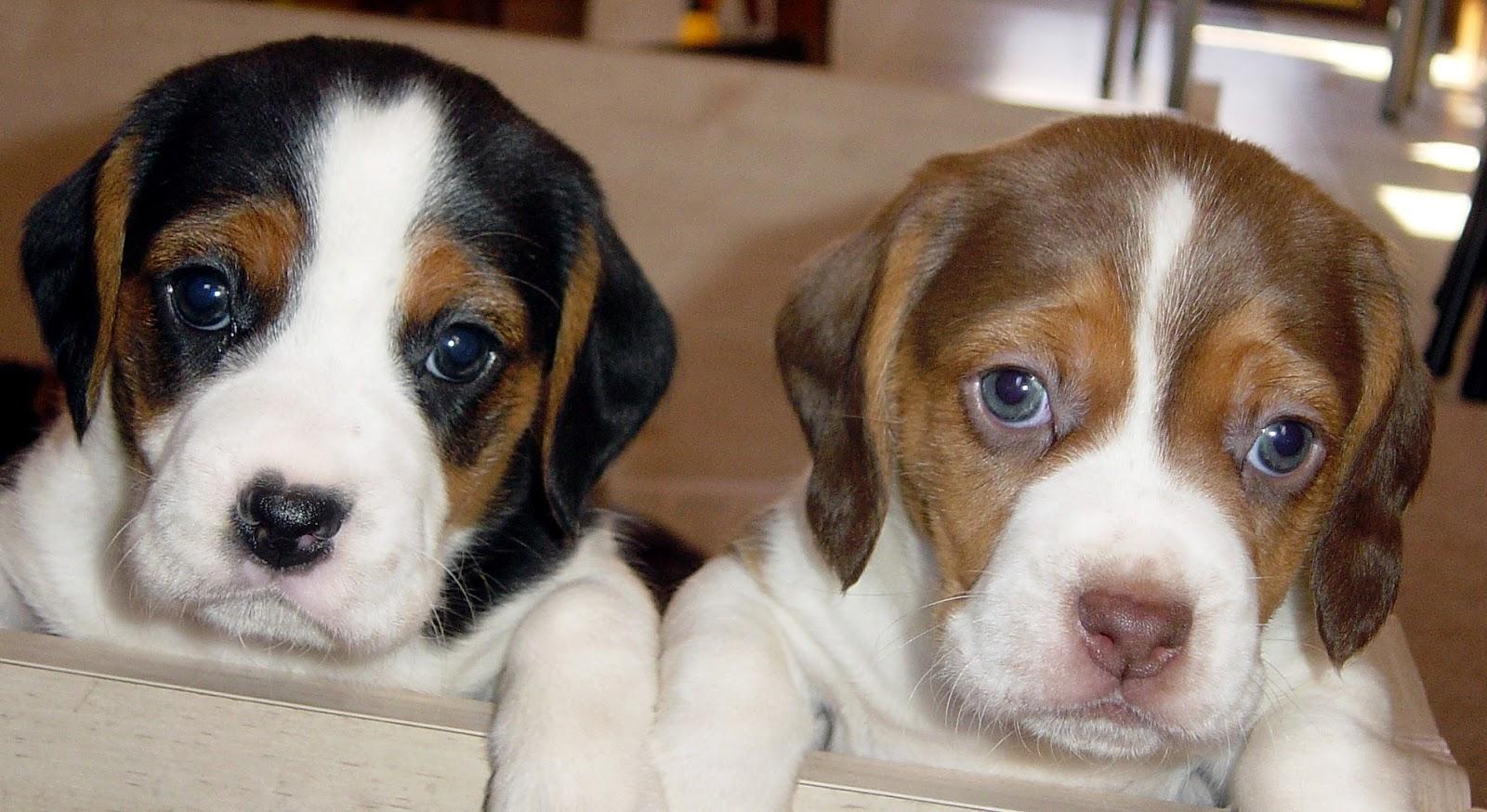 ikbhal  beagle dogs