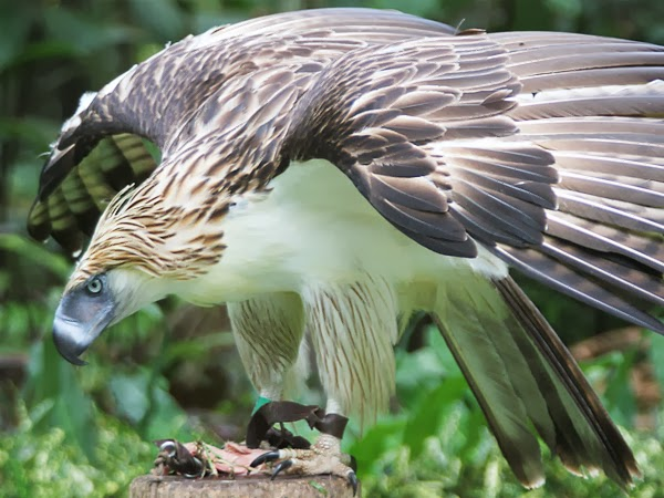 Rules Of The Jungle Philippine Eagle