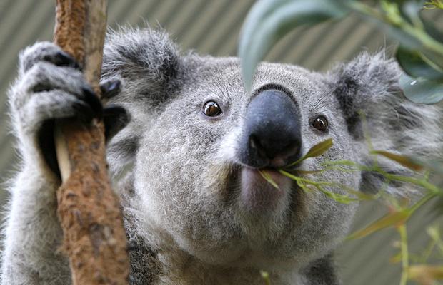 WHAT IS A KOALA? |The Garden of Eaden