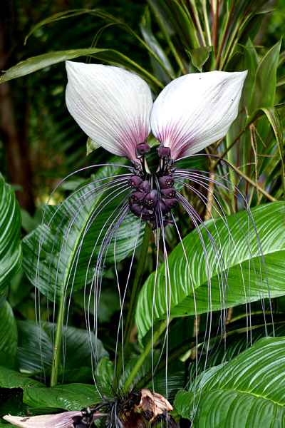 openplants  native plants of singapore that could be cutflowers