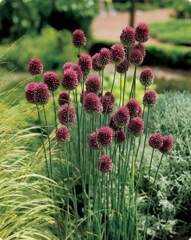 Plant drumstick allium now i must admit i first discovered drumstick allium when i could not find any other allium bulb to buy was late fall and i had waited too long to buy the mightylinksfo