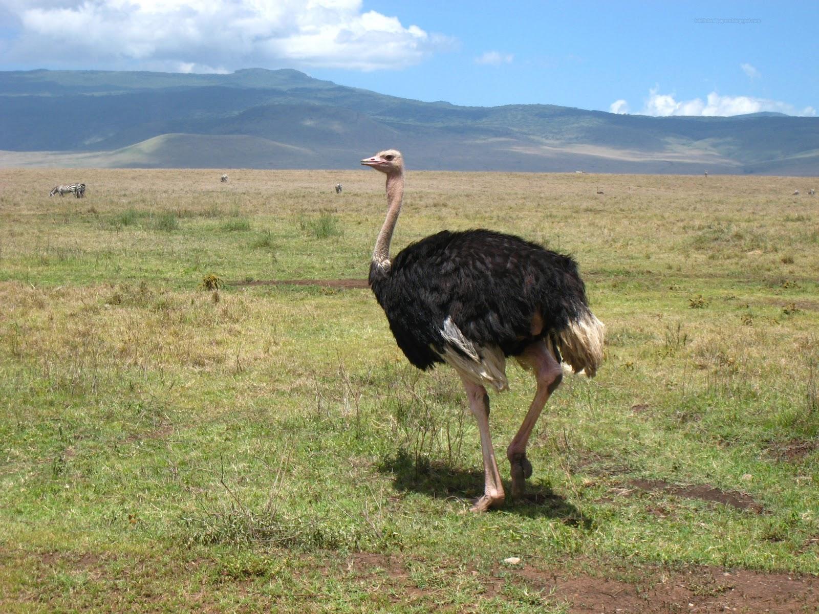 birds desert ostrich hd - photo #7