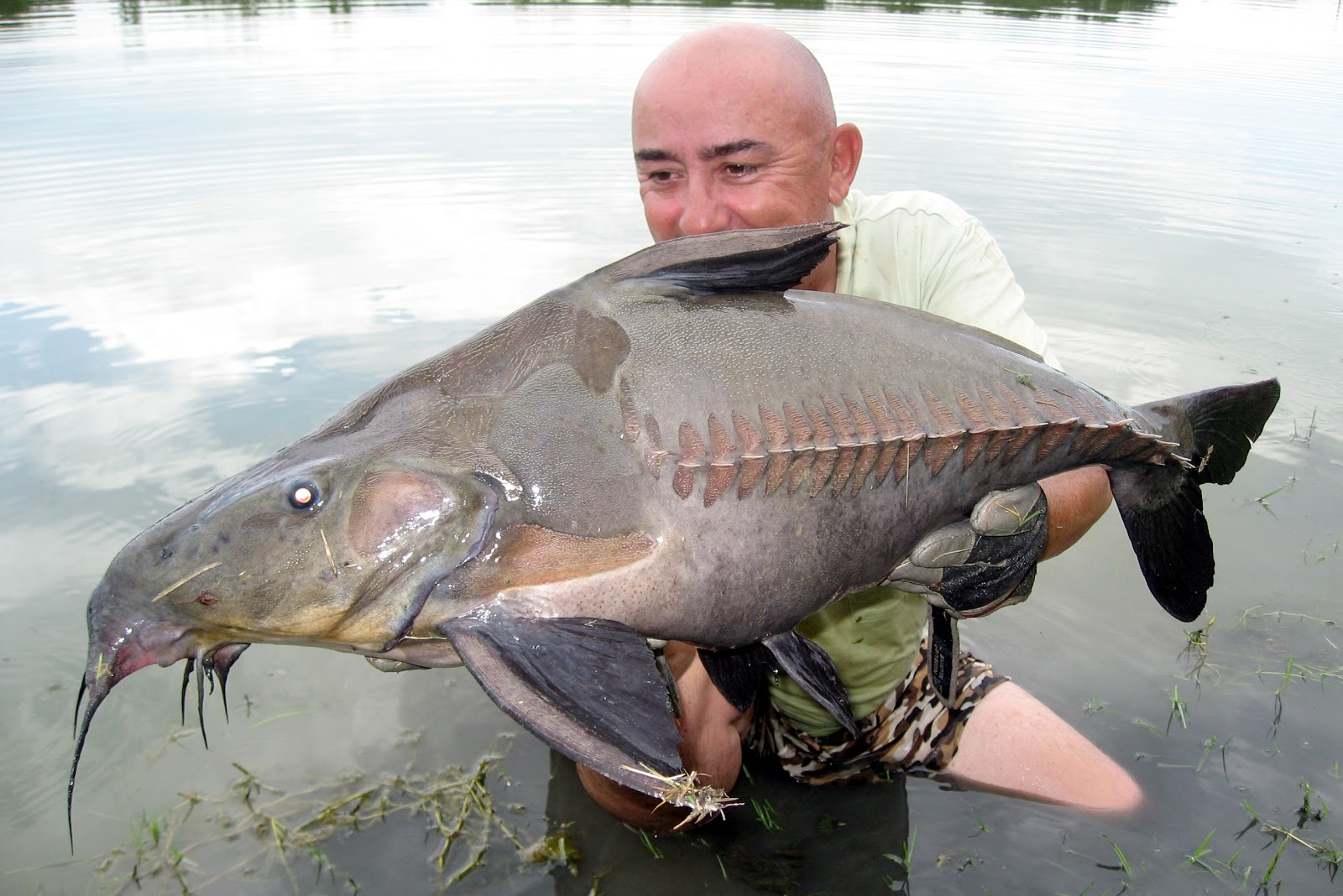 Big fishes of the world catfish ripsaw oxydoras niger for World of fishing