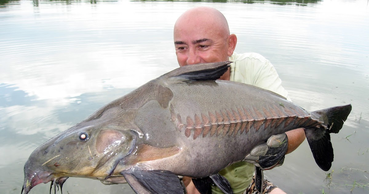 Big fishes of the world catfish ripsaw oxydoras niger for Largest saltwater fish