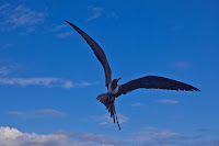 Galapagos Frigate Bird Flying