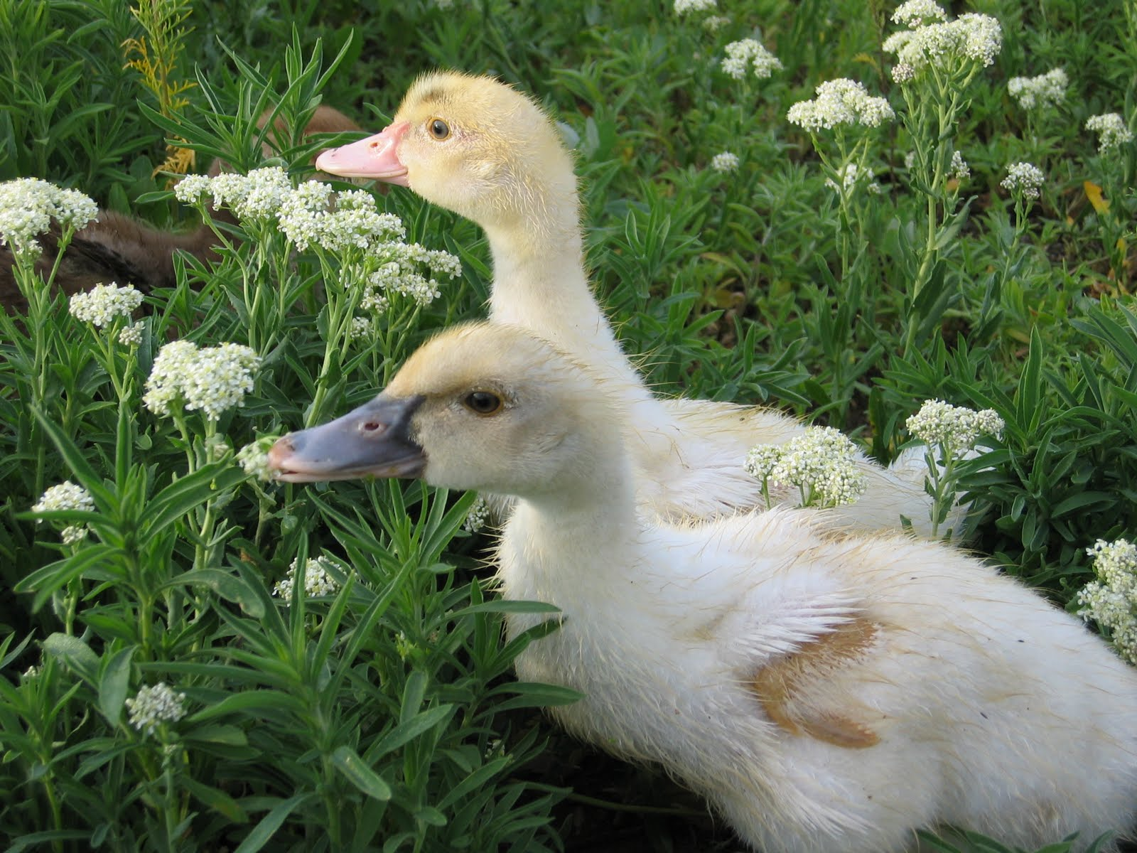 how to raise muscovy ducklings