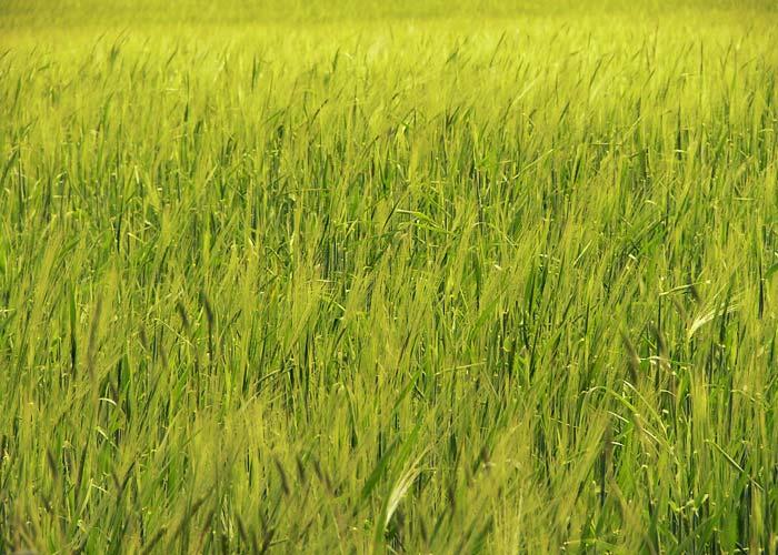 Risultati immagini per grano e zizzania immagini
