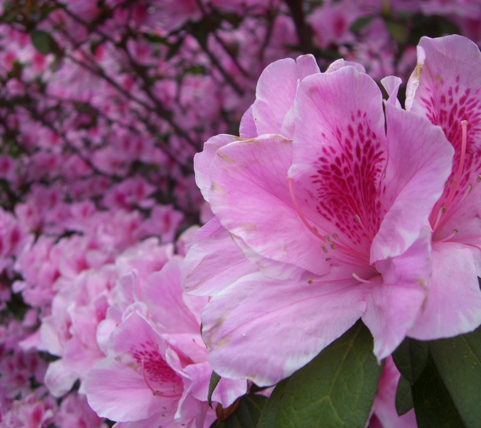 Flower Wallpapers: Flowers For Flower Lovers.: Beautiful Flowers HD Wallpapers