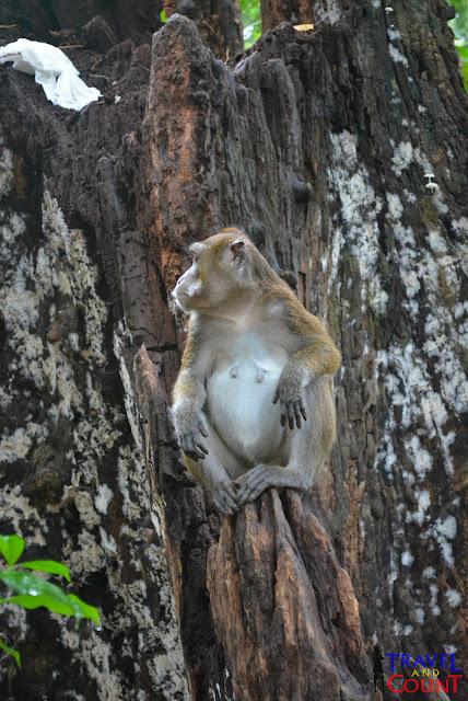 Monkey at Monkey Trail, Palawan