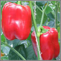 Сладкий перец сорт «Пилигрим»