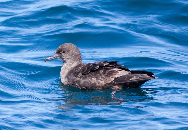 Sooty Shearwater, Scilly