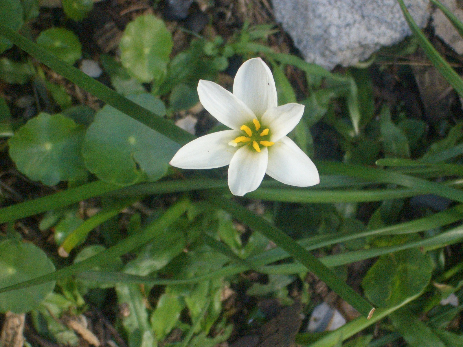 Eileen first interest beautiful plants and flowers white crocus flower white crocus flower mightylinksfo