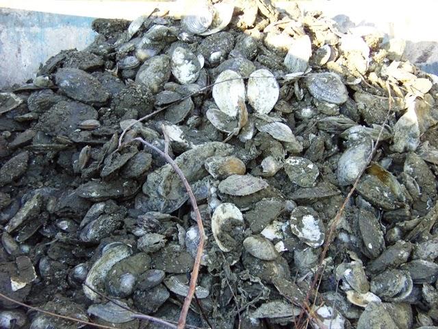 Az összeszedet kagylóhéjak