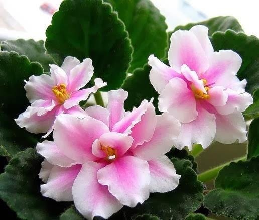 Узампарские сенполии,красивые фиалки,махровые фиалки,почему не цветут фиалки,как ухаживать за фиалками