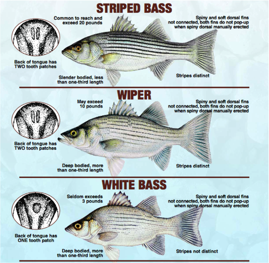 Wiper or striper caught in a tributary leading to the for Kansas fish and game