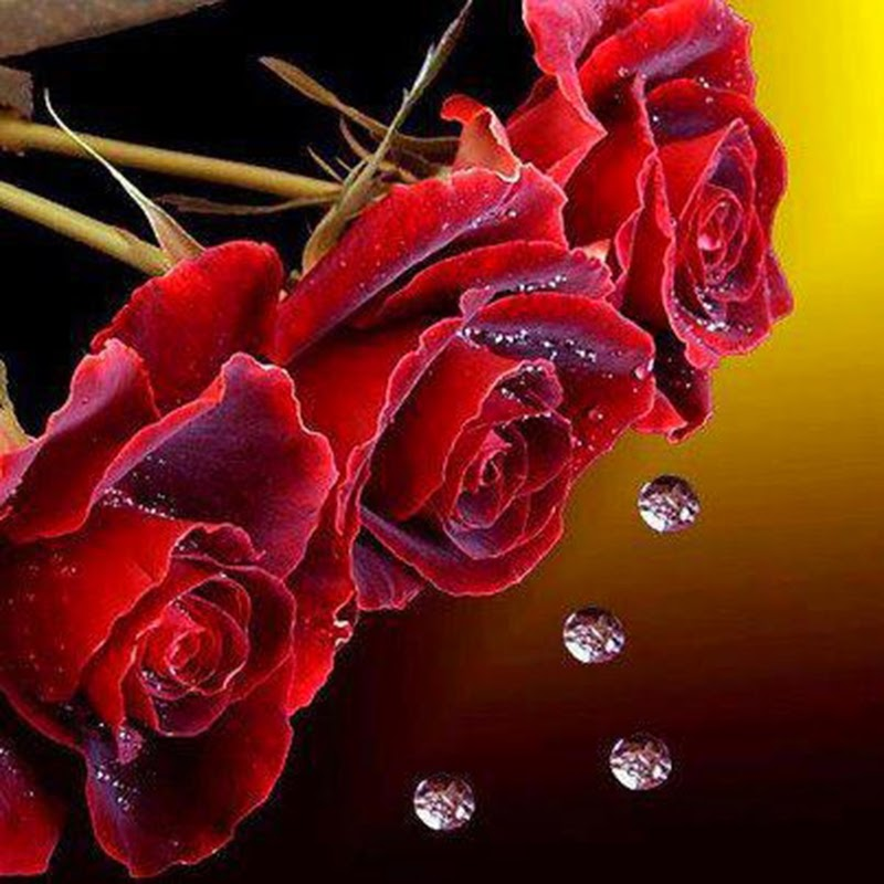 Beautiful Red Rose Flowers Mercurry Backgrounds Images Pictures Online free delivery