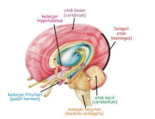 Mengobati Radang Selaput Otak