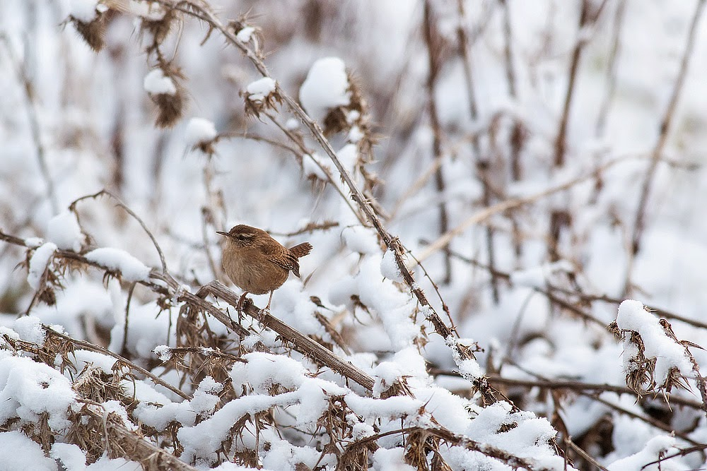 Winter Wren - Manor Farm, Milton Keynes