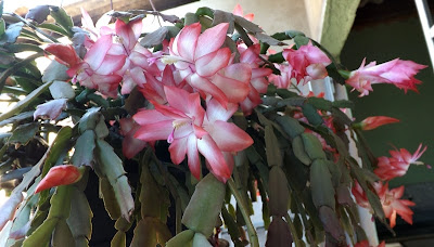 Flor de maio cactos