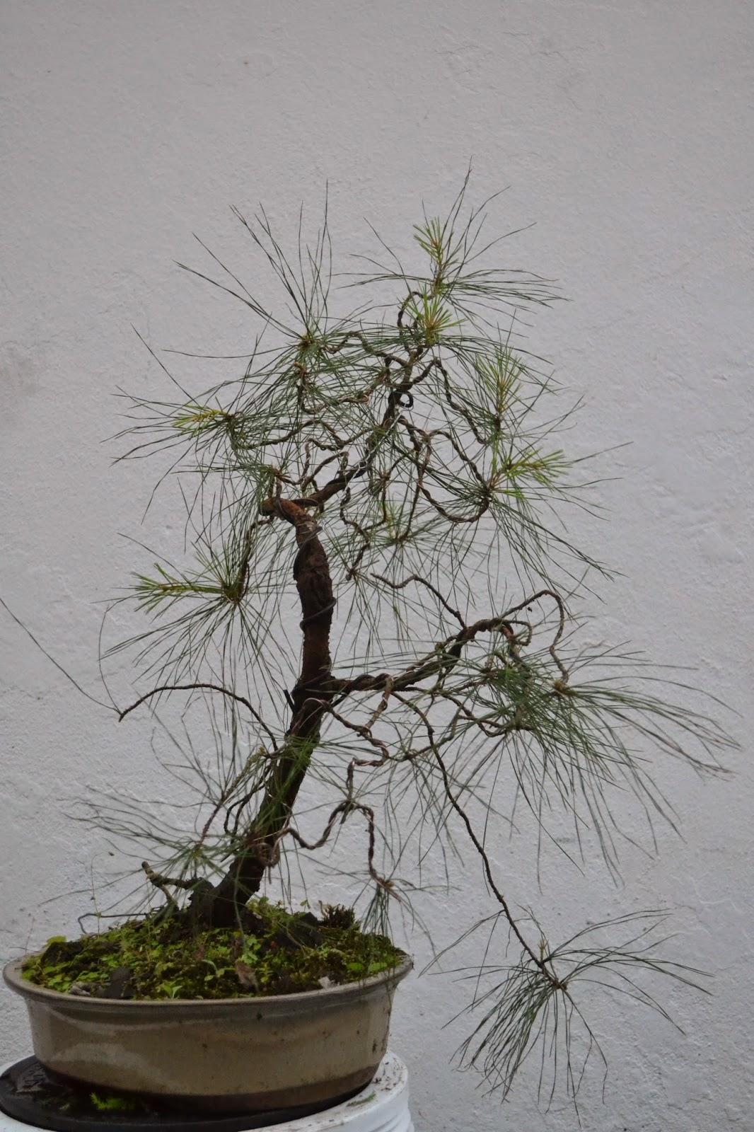 Bonsai Mauritius Pinus Elliottii Hem2 First Wiring