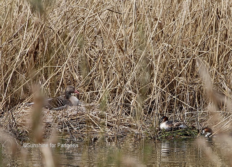 Graylag Geese and Great Crested Grebes nesting hidden in the reed