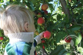 Picking apples at Tougas Farm