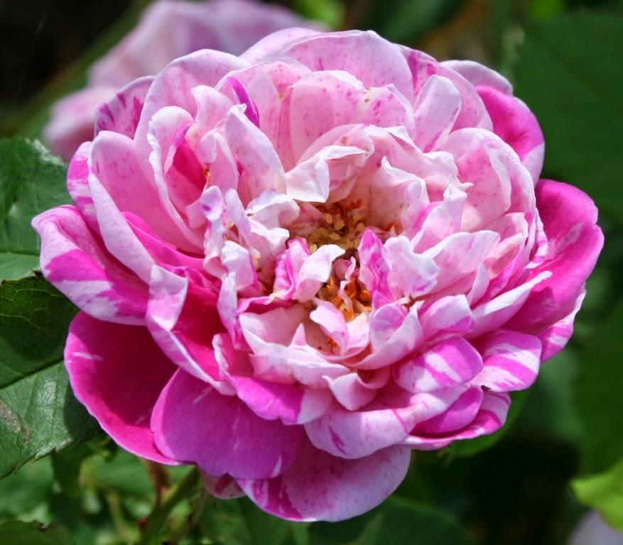 Garden Musings Honorine De Brabant
