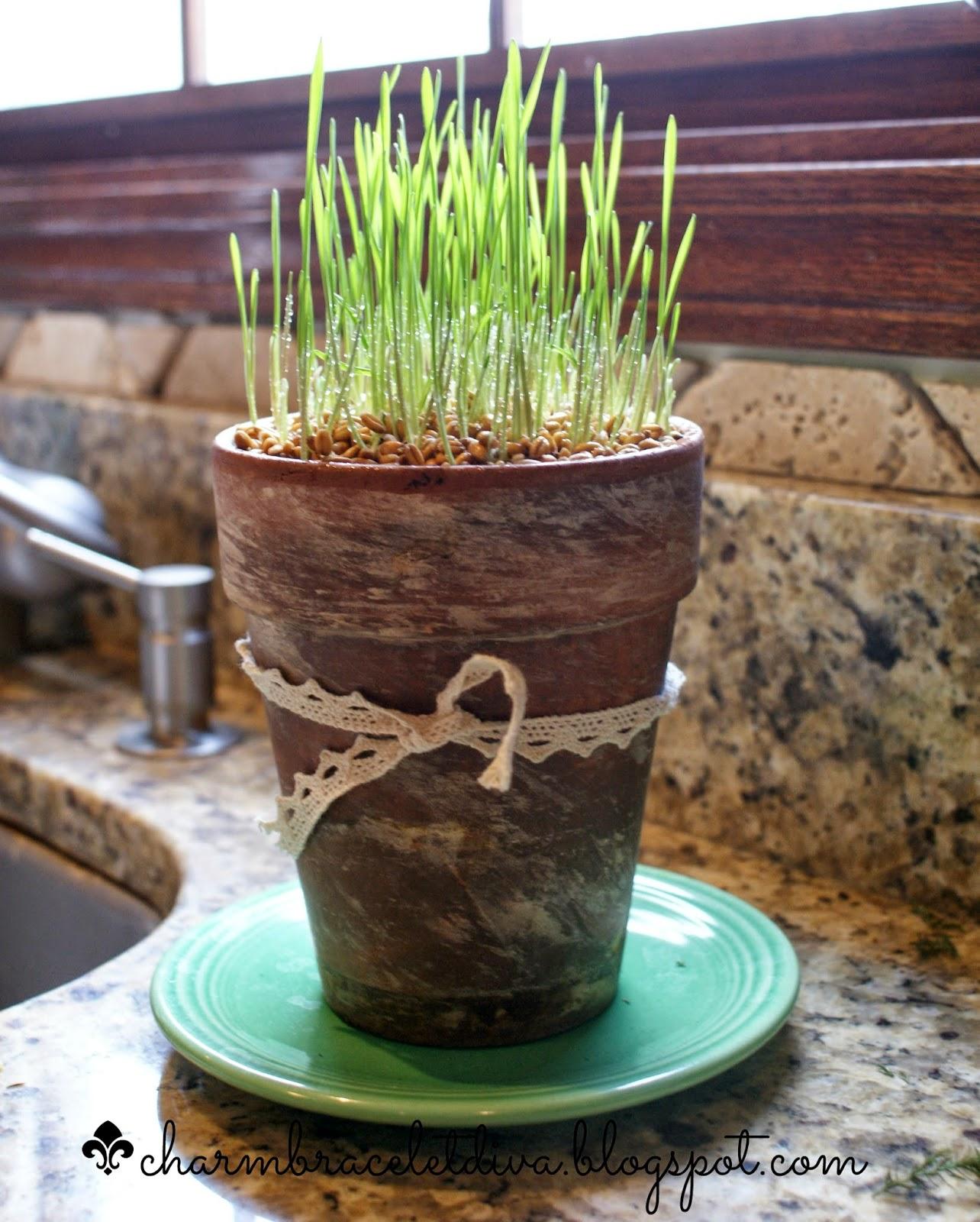 wheat grass in clay pot