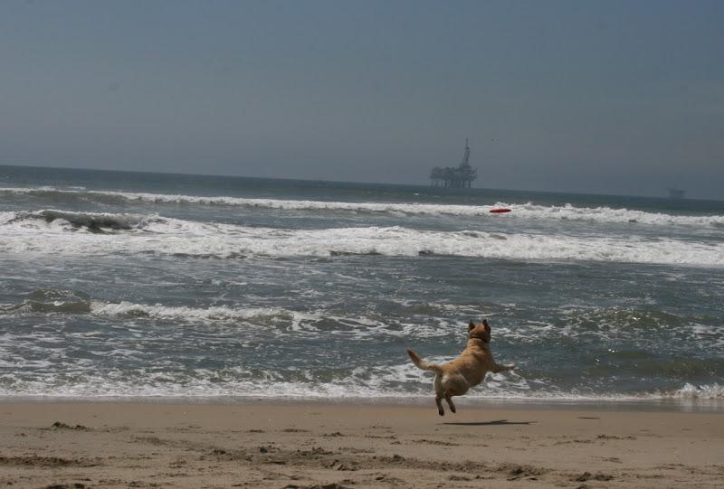 Labrador chasing frisbee Huntington Beach