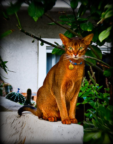 O Abyssinians Cat Pictures an...