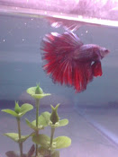 red black platinum dragon halfmoon