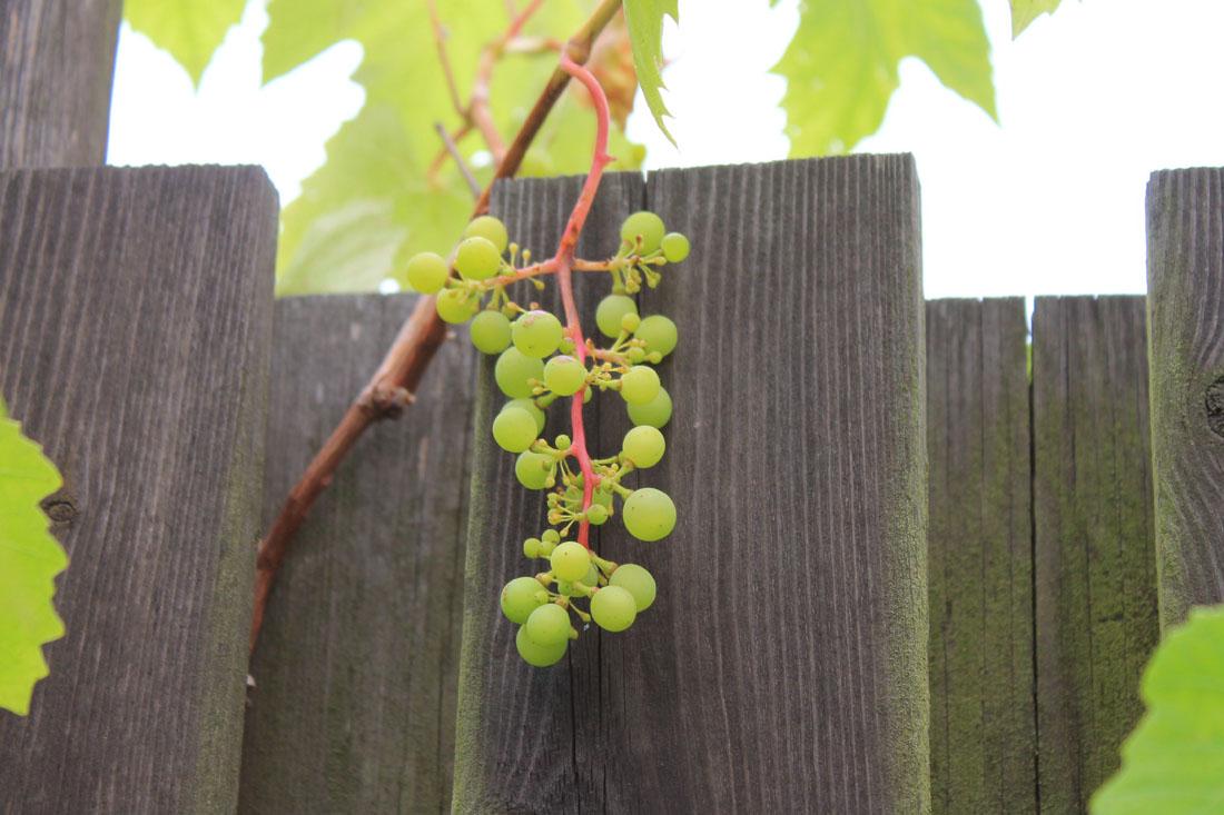 Grappolo d'uva, settembre 2015