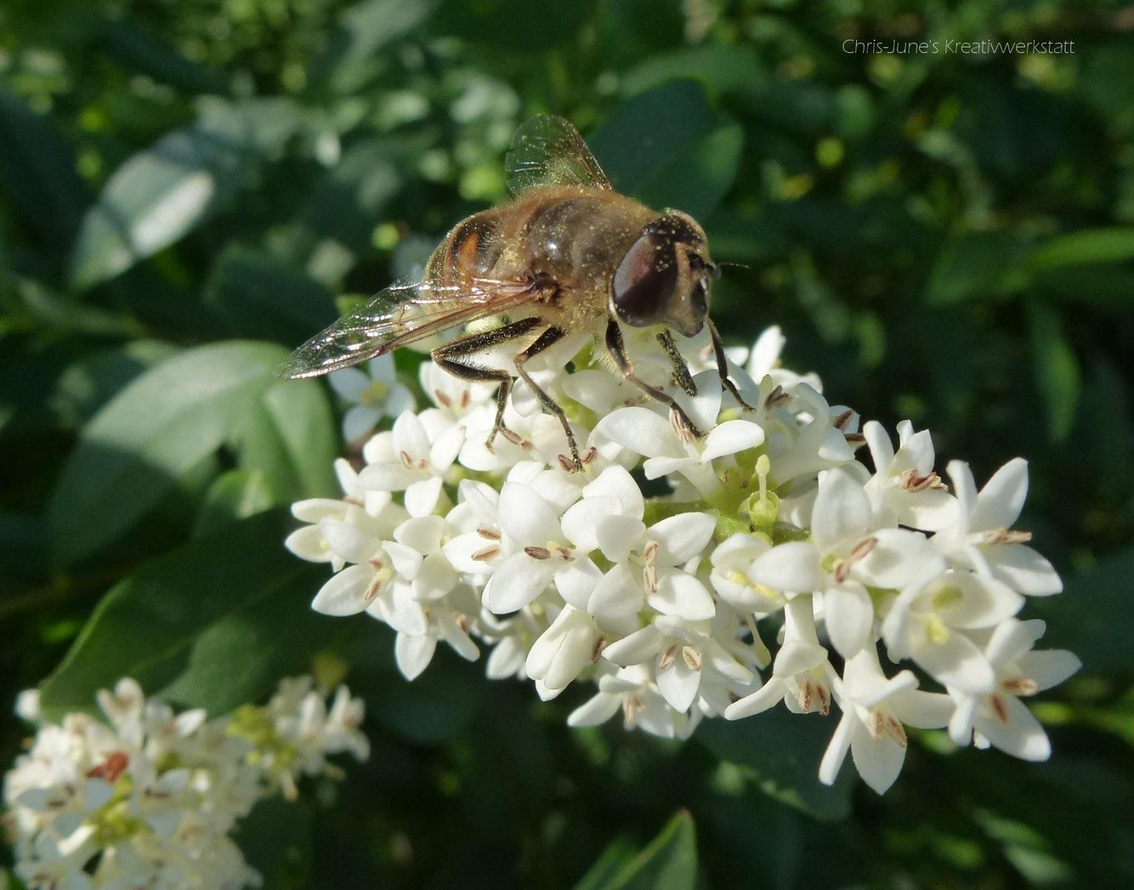 Ligusterblüten mit Insekt