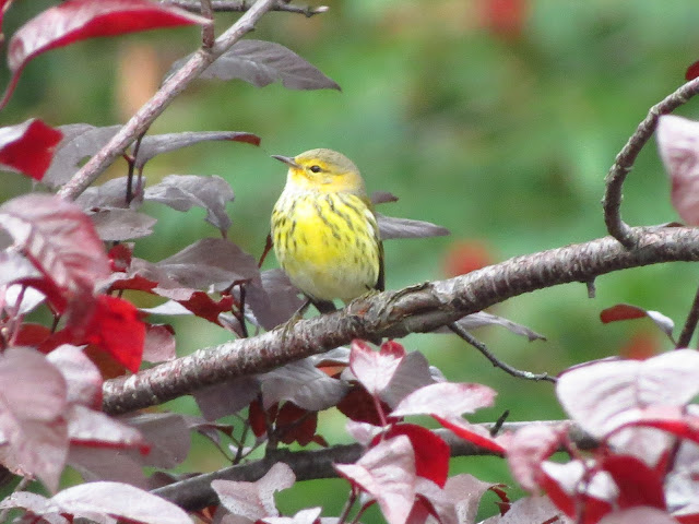 cape may warbler four