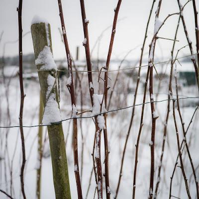 Snow on the allotment 2013, #2 © Graham Dew