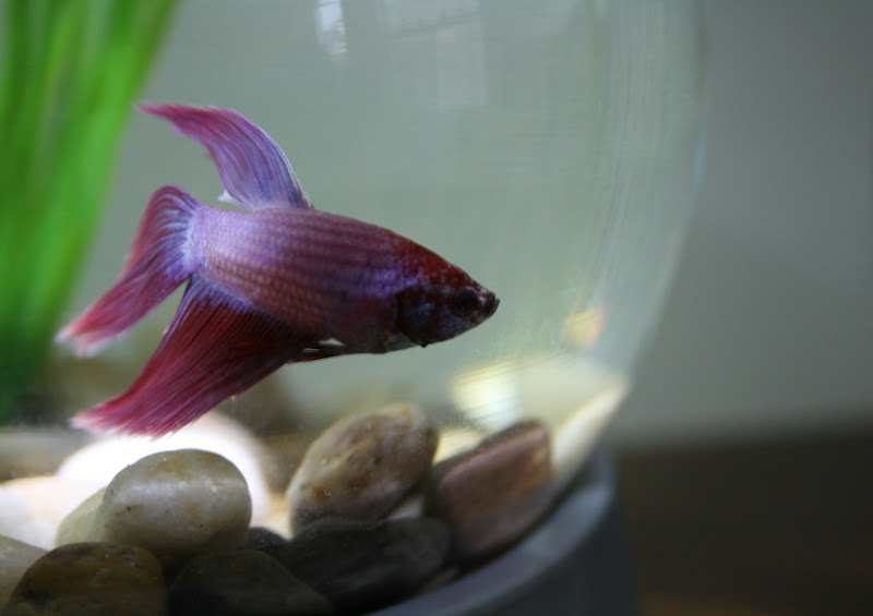 Charcoal and crayons a fish called chips for Good betta fish names