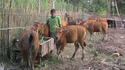 sapi di areal kandang