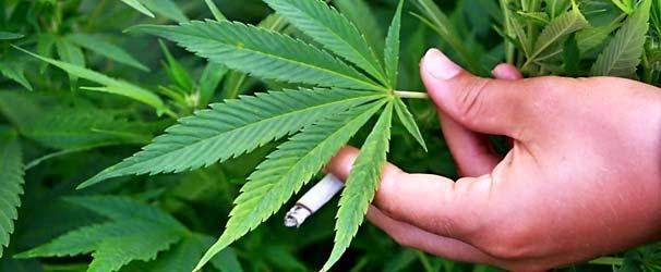 La marihuana lleva al suicidio a las células cancerosas