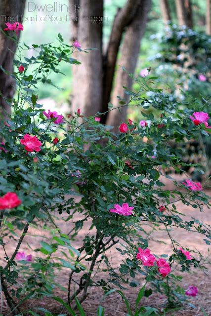 Red and pink knock out rose