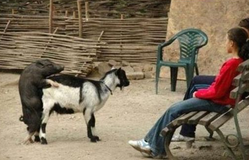 funny picture pig f*cking a goat
