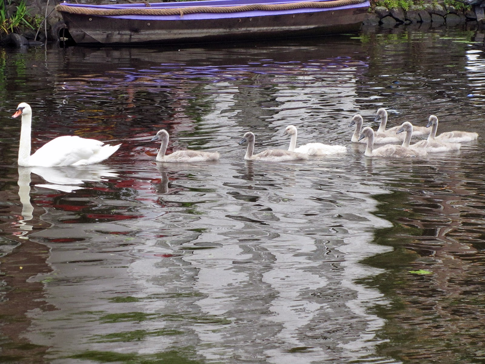 swimming swan and its young ones